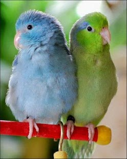 Talking Parrotlet - screenshot thumbnail