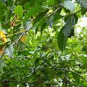 Gardenia Carinata Yellow