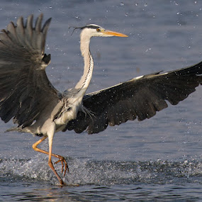 Running on water by Charlene Bacchioni - Animals Birds ( bird, water, grey, giant heron,  )