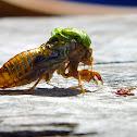 April Green Cicada