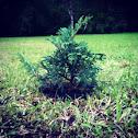 Baby Cypress Tree