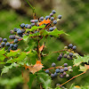 Oregon-grape berries