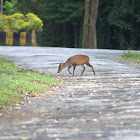 Muntjac or The Barking Deer