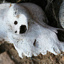 Coyote Skull?