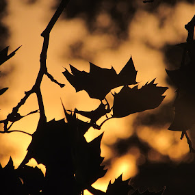 Golden Shadows by Anne Santostefano - Nature Up Close Trees & Bushes ( trees, glowing, gold, leaves, surreal, shadows, sun,  )