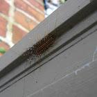 House Centipede