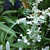 White salvia