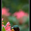 Purple-rumped Sunbird