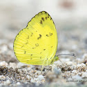 Common grass-yellow butterfly