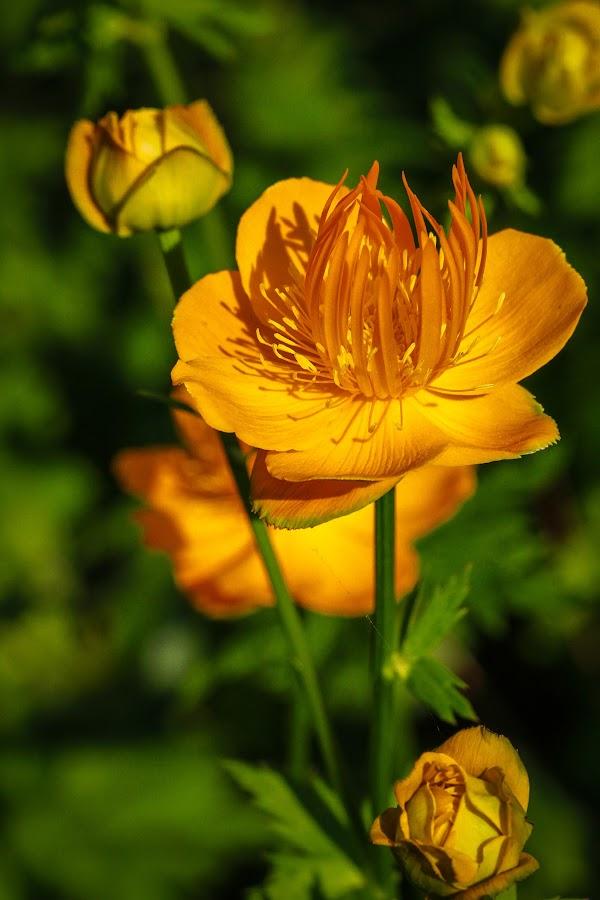 Orange Flower by Roberta Janik - Flowers Flower Gardens ( orange flower, blooms, summer garden, flower,  )