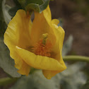 Yellow Horned Poppy, Gelber Hornmohn