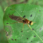 Golden Soldier fly