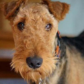 Dog Puzzle: Airedale Terrier