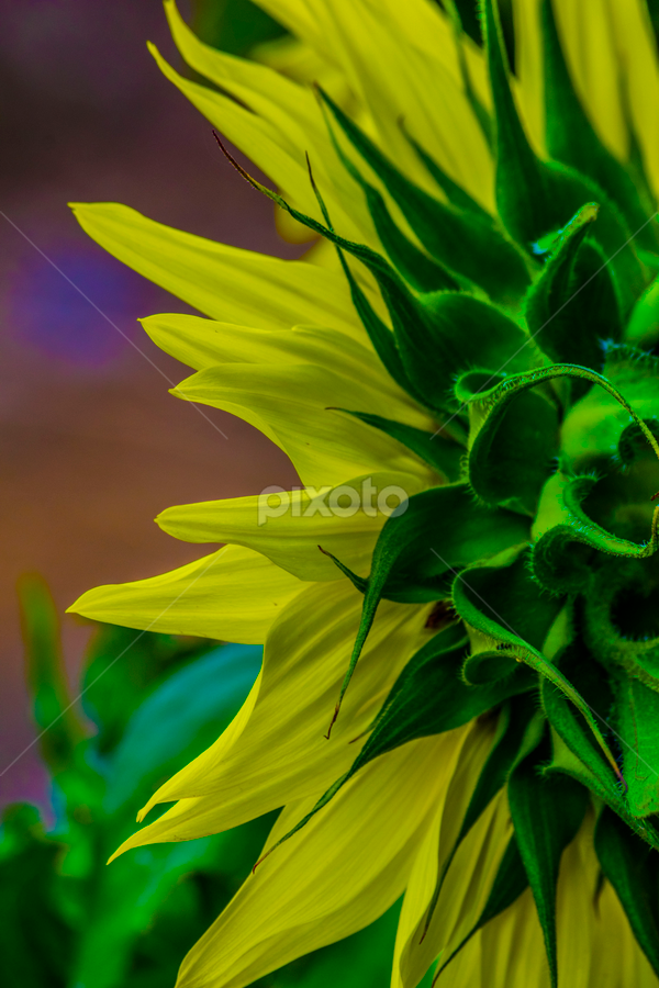 Sunflower 2 by Denise Johnson - Flowers Flower Gardens ( sunflower, flowers, flower, floral )
