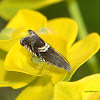 Tortricidae