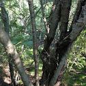European Buckthorn