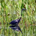 Blue Heron (immature)