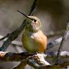 Allen's Hummingbird (female)