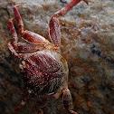 Salt Water crab