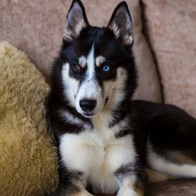 Tilly by Peter Wyatt - Animals - Dogs Portraits ( tilly, husky, puppy, siberian, dog, portrait )