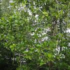 Bakau / mangrove plant