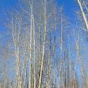 Black Cottonwood