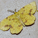 False crocus geometer (male)