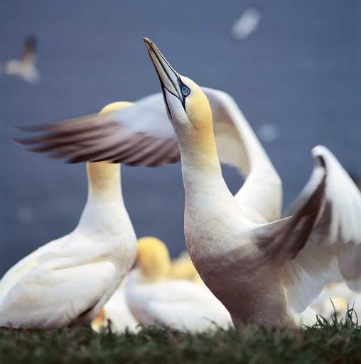 northern-gannet-Quebec - A flock of Northern gannet in Gaspesie, Quebec, Canada.