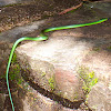 Western Green Snake