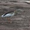 Indian Pond Heron or Paddybird