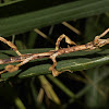 Stick Insect, Phasmid - Female