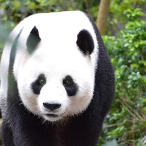 Panda by Abbie Pearsall - Animals Other ( panda, rare, cute, singapore, animal )