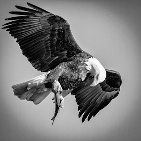 Guess It's A Keeper by Mike Trahan - Black & White Animals ( flying, flight, nature, bald eagle, prey, mississippi )