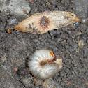 Green june beetle larva