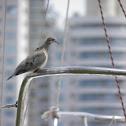 Eared Dove (Tórtola torcaza)