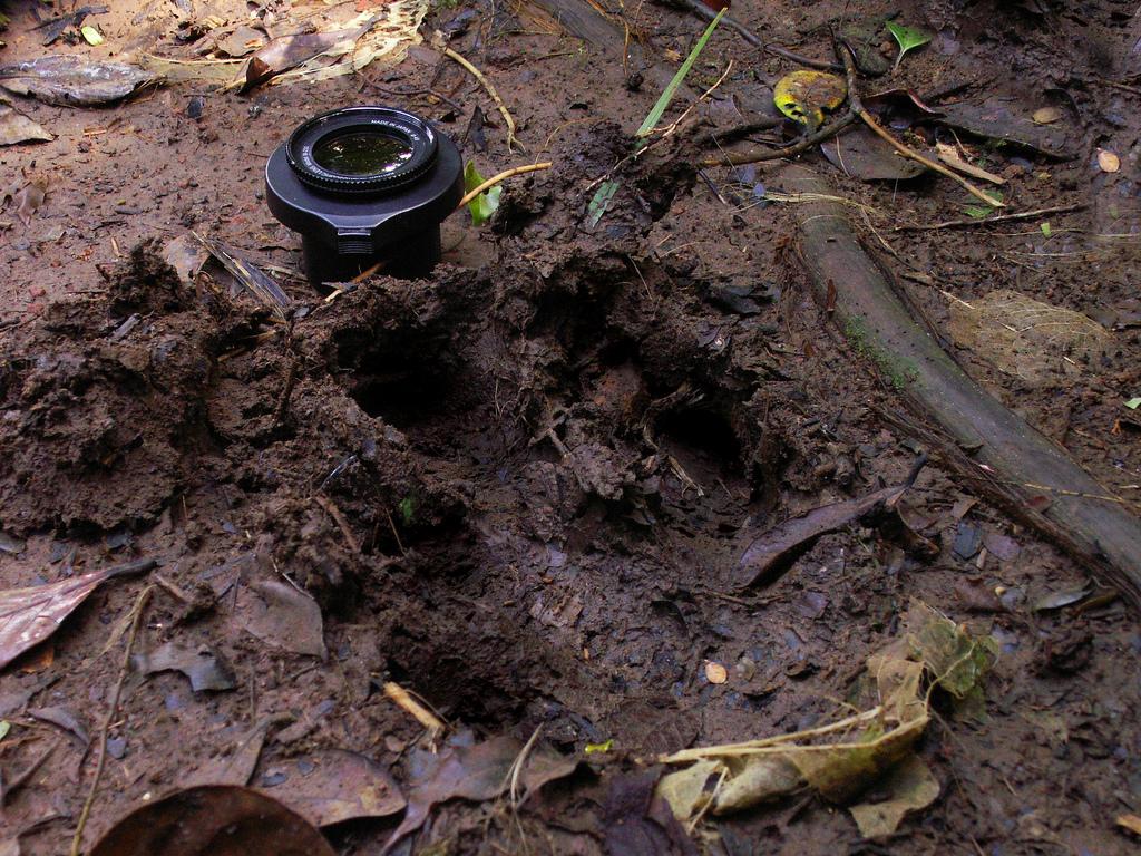 Tapir track
