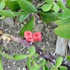 Crown of thorns plant (Κόκκινη ευφορβία)