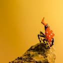 Nymph of Lantern fly