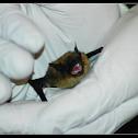 Myotis (Bat)?