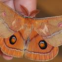 Helena gum moth