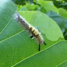 The Brown Tussock moth caterpillar