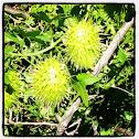 California Manroot (Wild Cucumber)