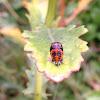Harlaquin larvae