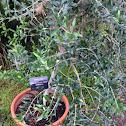 Dwarf Olive