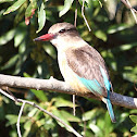 Brown-hooded Kingfisher (female)