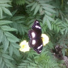 male-common eggfly