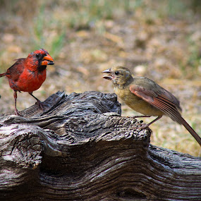 Father's Love by April Nowling - Animals Birds ( bird, cardinal, baby bird, wildlife, father, improving mood, moods, red, love, the mood factory, inspirational, passion, passionate, enthusiasm, renewal, green, trees, forests, nature, natural, scenic, relaxing, meditation, mood, emotions, jade, revive, earthly,  )