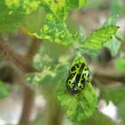 Mallow leaf beetle