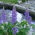 Large-leaved Lupine