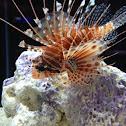 Lion fish or scorpion fish